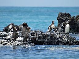 Los pingüinos de Galápagos son endémicos y su tamaño es más pequeño