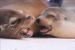 Galaeco-Galapagos-Lobo