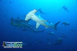 Galaeco-Galapagos -dive-shark