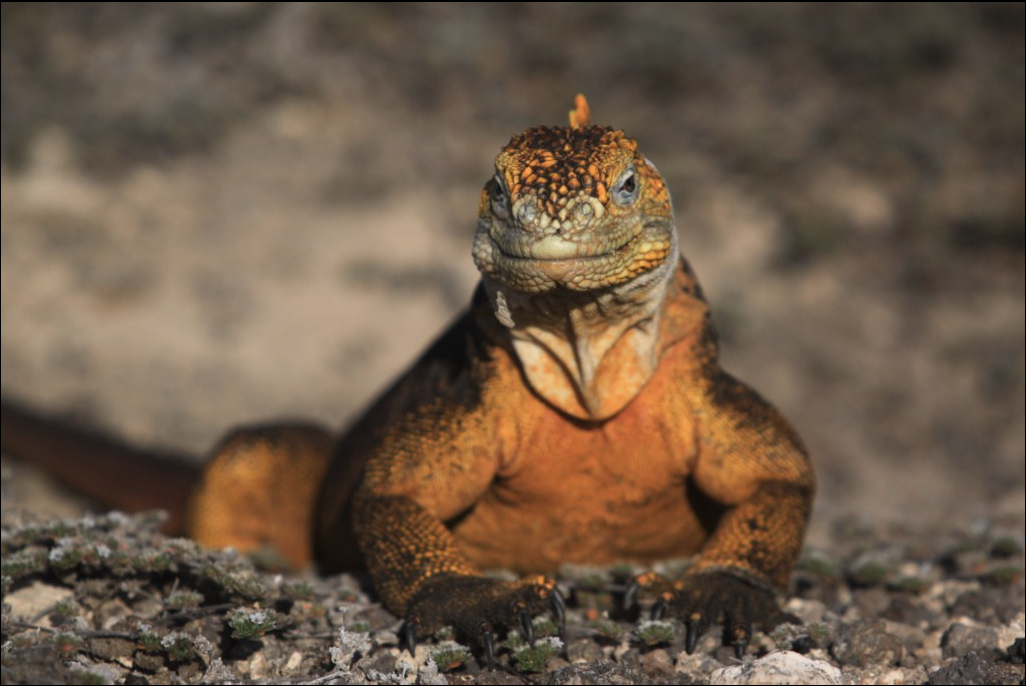 Iguana de tierra