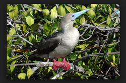 Galaeco-Galapagos-Piquero-patas-rojas