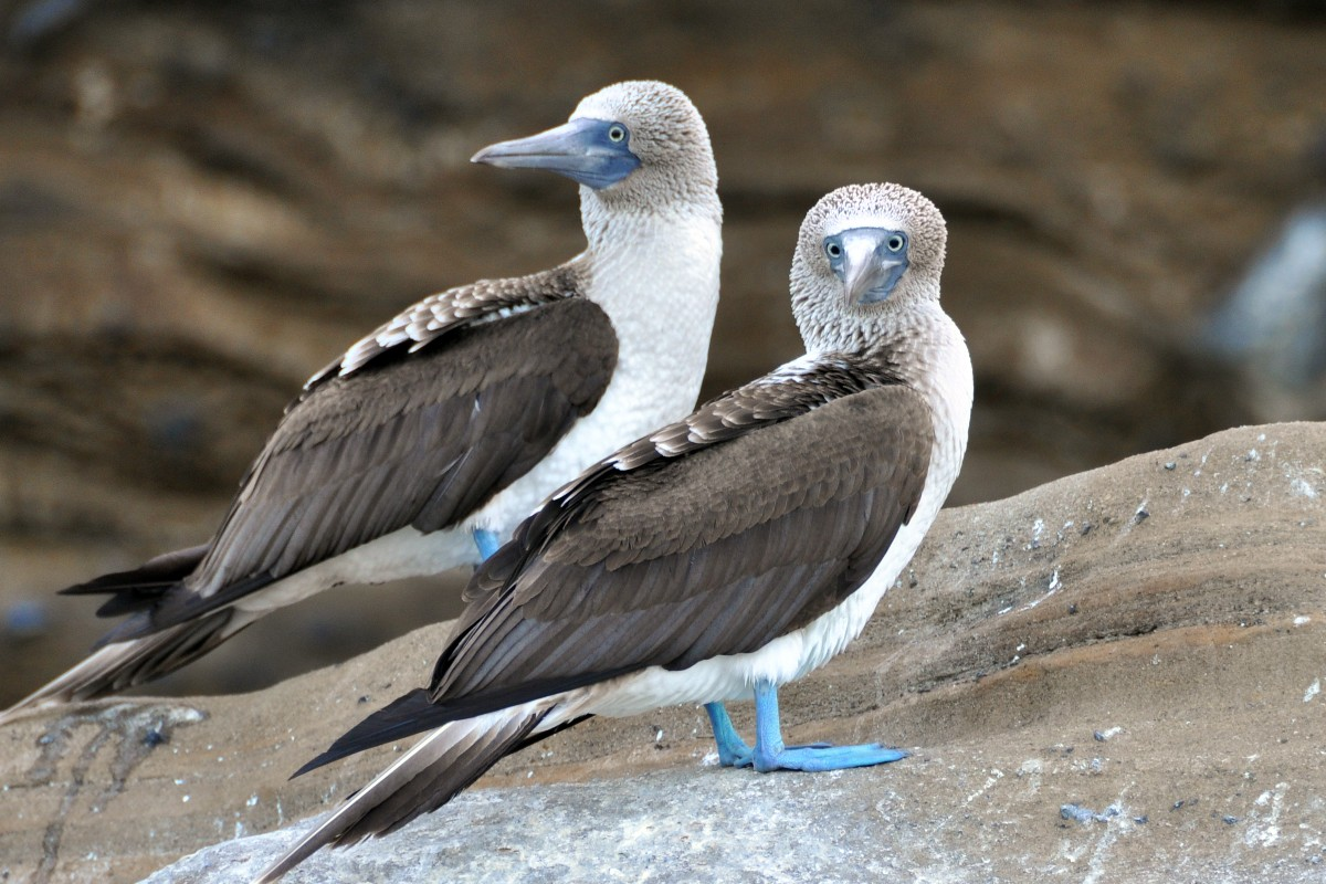 Piqueros de patas azules Galápagos