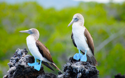 pareja-piquero-de-patasazules