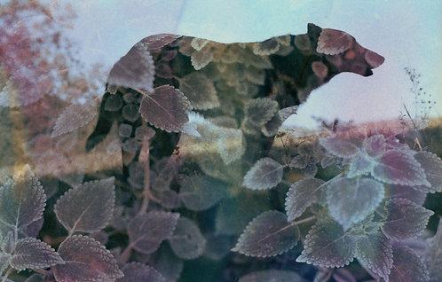 Ieve Holthausen - Loba rosa