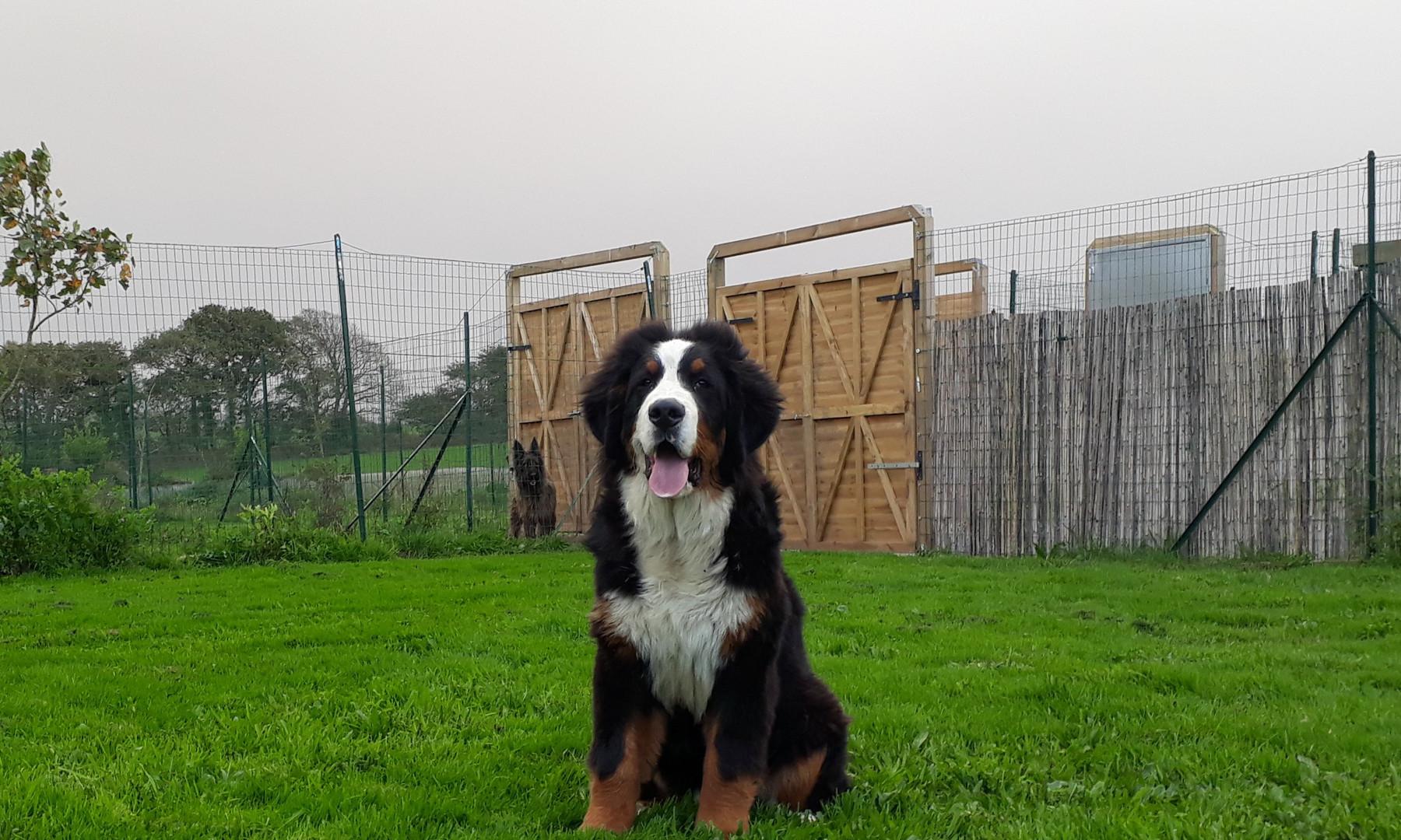 Bouvier Bernois dans le parc