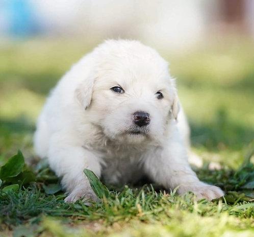 Khaki Great Pyrenees Puppy