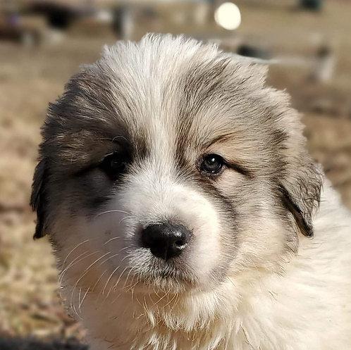 Habari Great Pyrenees Puppy