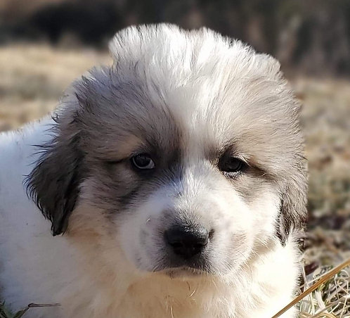 Jameela Great Pyrenees Puppy