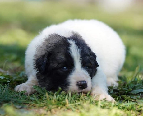 Cerulean Great Pyrenees Puppy