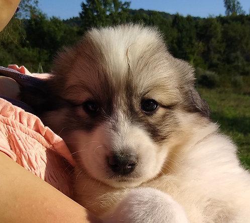 Jadis Great Pyrenees Puppy