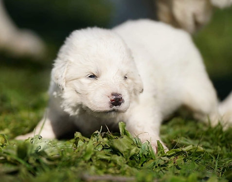 Ivory Great Pyrenees Puppy