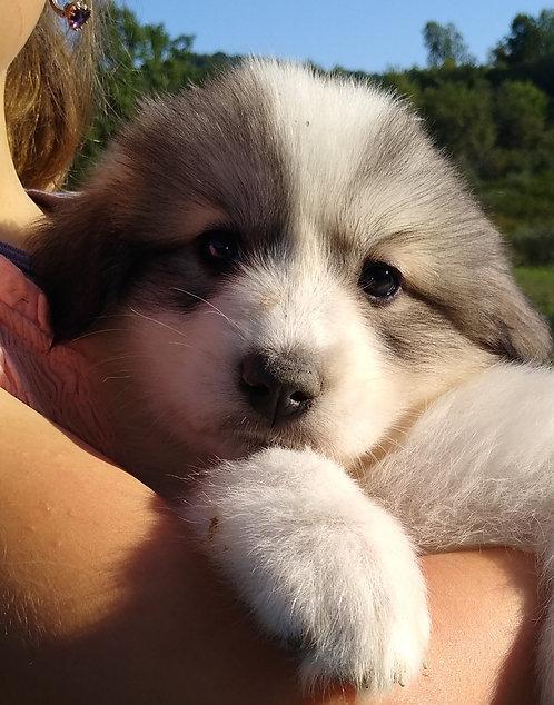 Lilliandil Great Pyrenees Puppy