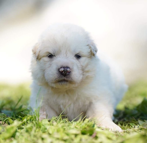 Slate Great Pyrenees Puppy