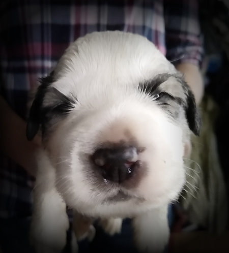 Mtoto Great Pyrenees Puppy