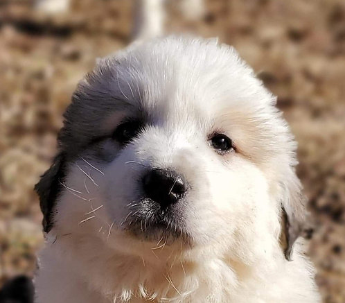 Rafiki Great Pyrenees Puppy