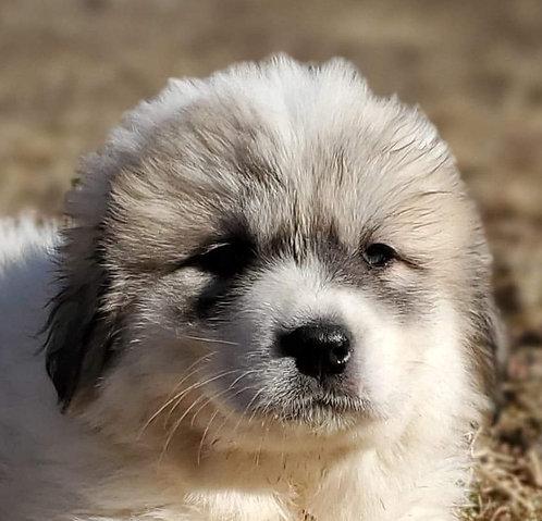 Jabali Great Pyrenees Puppy