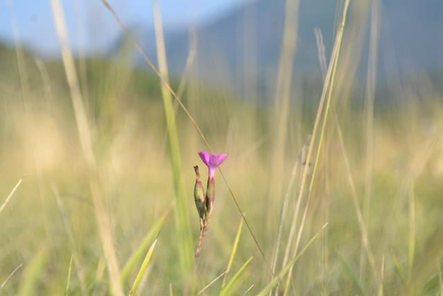 Flower French Alps.JPG