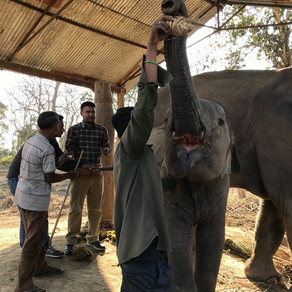 Our Field Vet at work in Chitwan, February 2018
