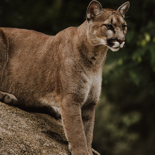 MOUNTAIN LIONS IN THE GREATER YELLOWSTONE REGION Coming Soon