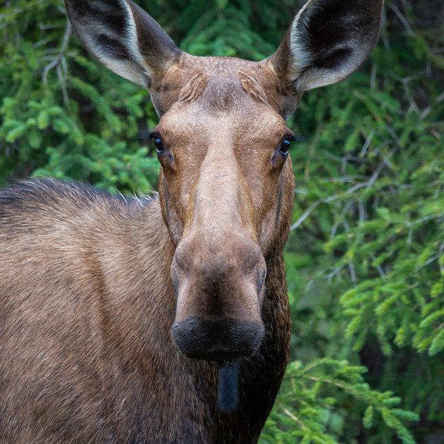 MOOSE IN THE GREATER YELLOWSTONE REGION