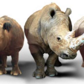 Rhino Facts!