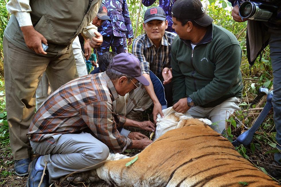 Tiger help.JPG