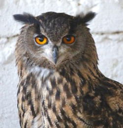 Owl with Red Eyes