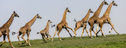 Giraffe Parade-1254