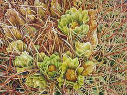 CA barrell cactus