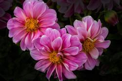 threepinkblooms