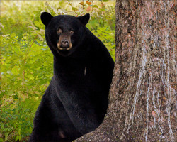 Bear Near Tree 8 x 10