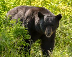 Black Bear in Grass 8 by 10