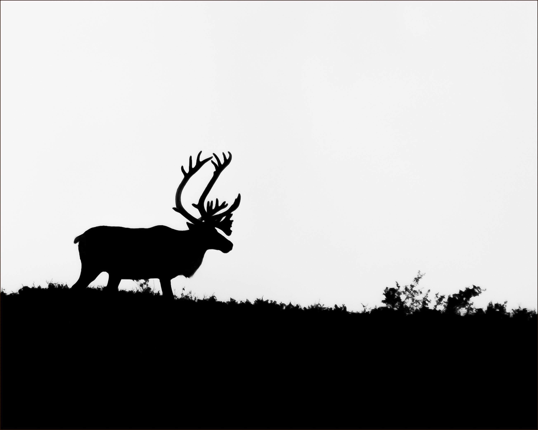 BW Caribou cropped 8X 10