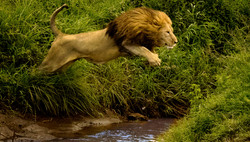 Leapin' Lion-2