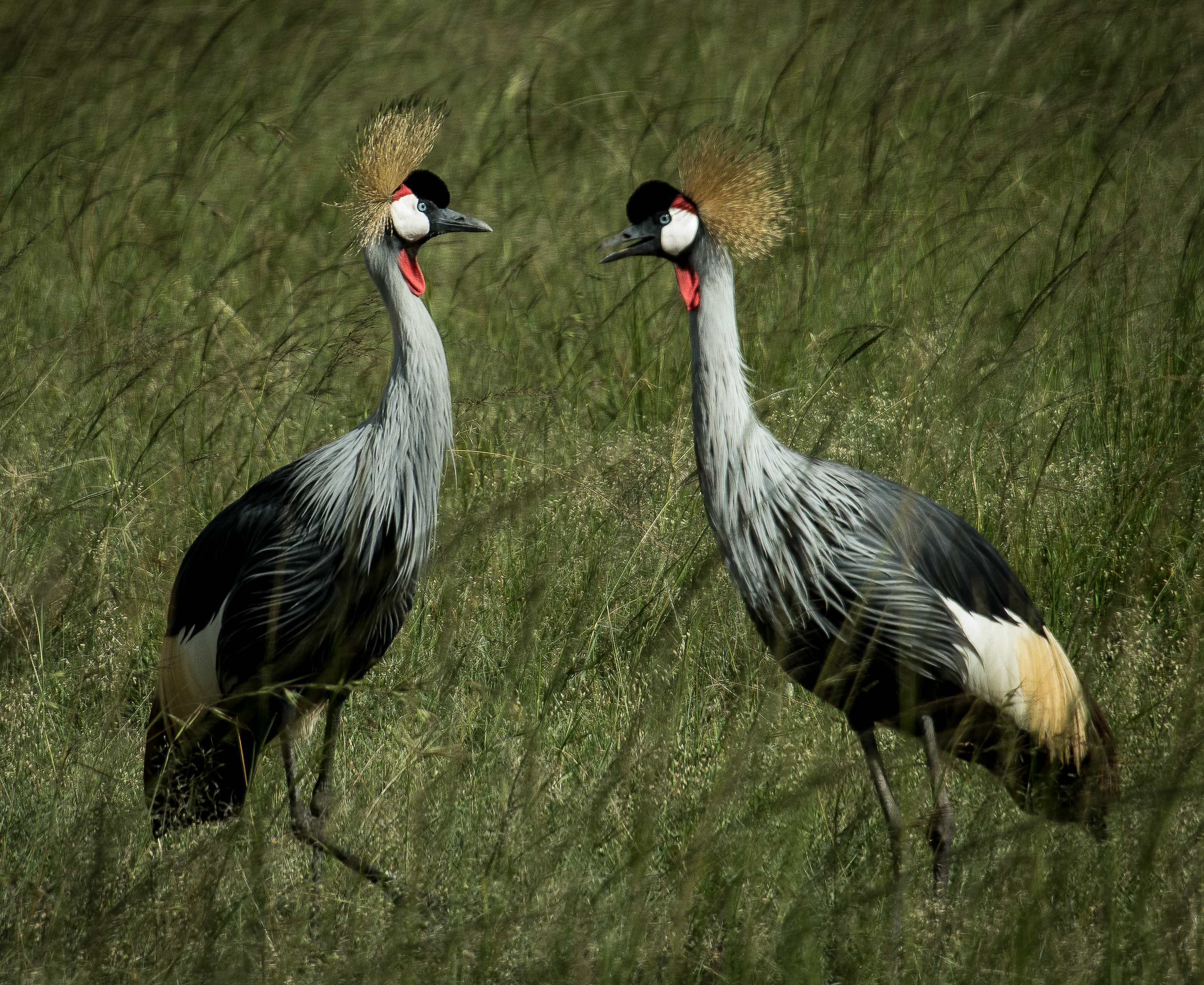 Gold Crowned Cranes-0625