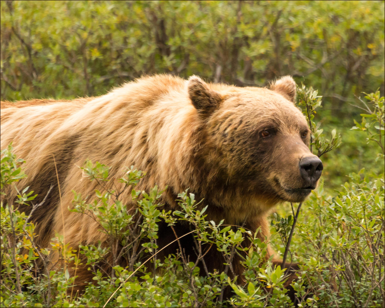 Denali Grizzly 8 x 10