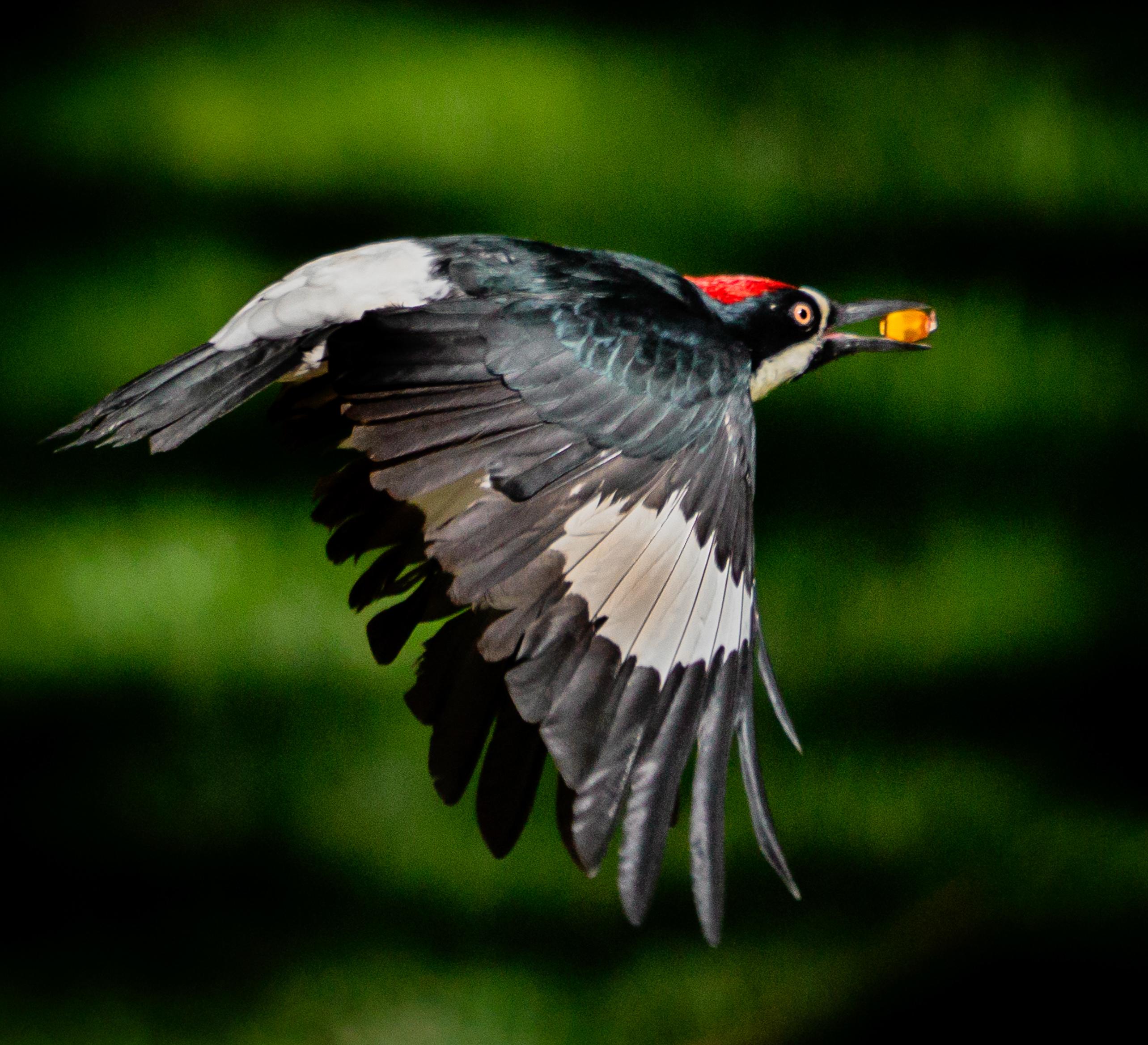 Acorn Woodpecker-8340