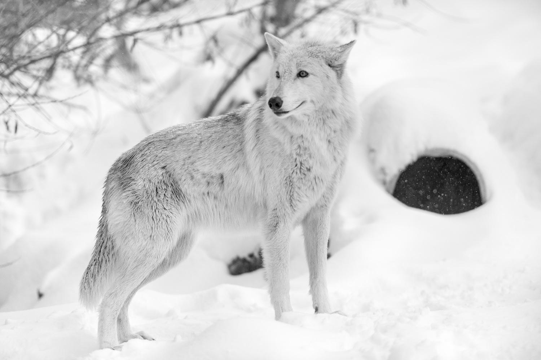 WolfLoganA