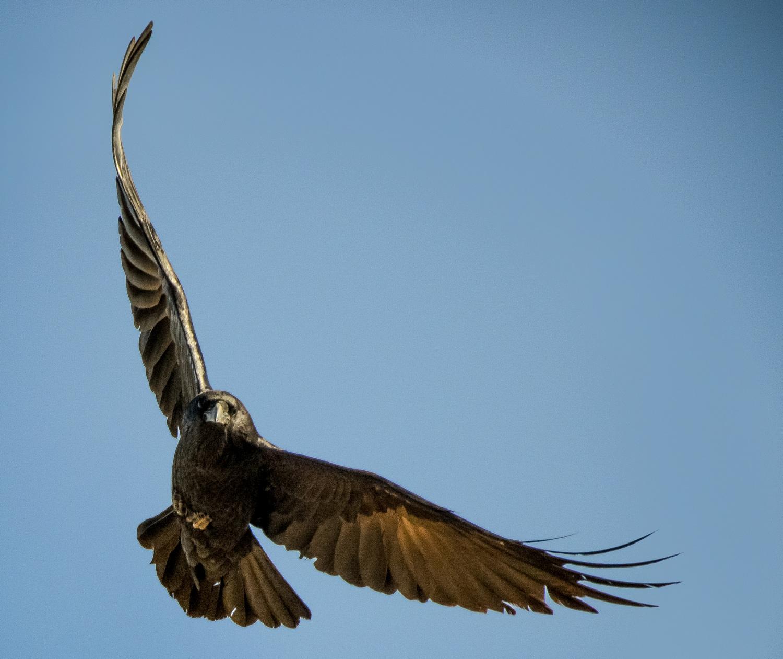 Ravens125-3A