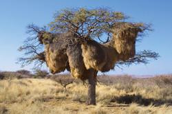 Gigantic Sociable Weaver's Nest