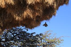 Giant Sociable Weaver's Nest