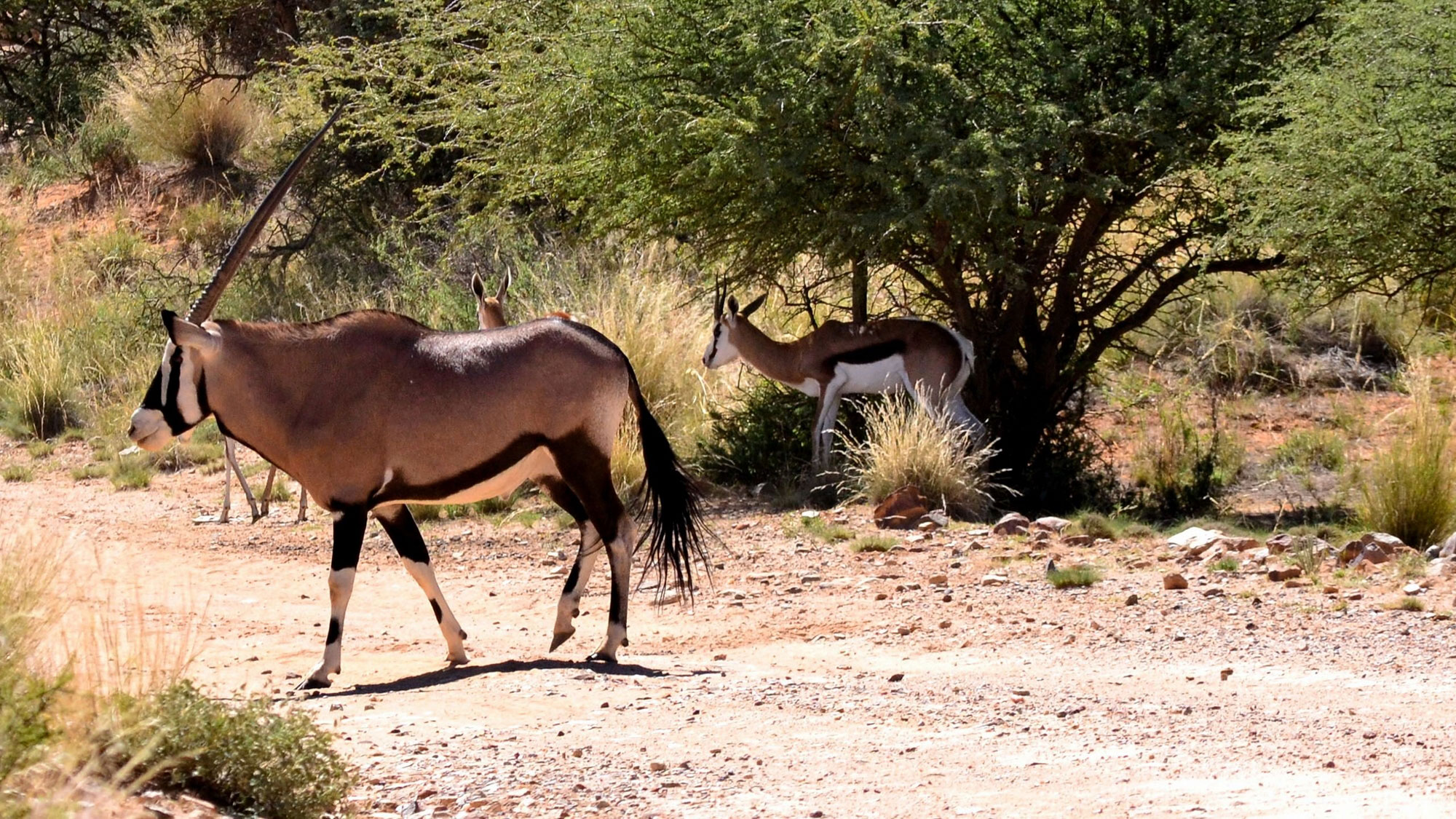 Gemsbok and Springbuck