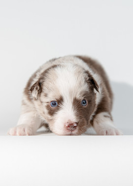 Maine Dog Photographer Aussie Puppies-13