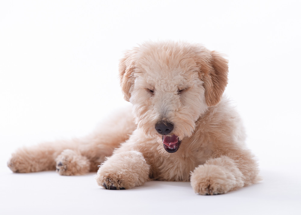 Goldendoodle photography in Maine