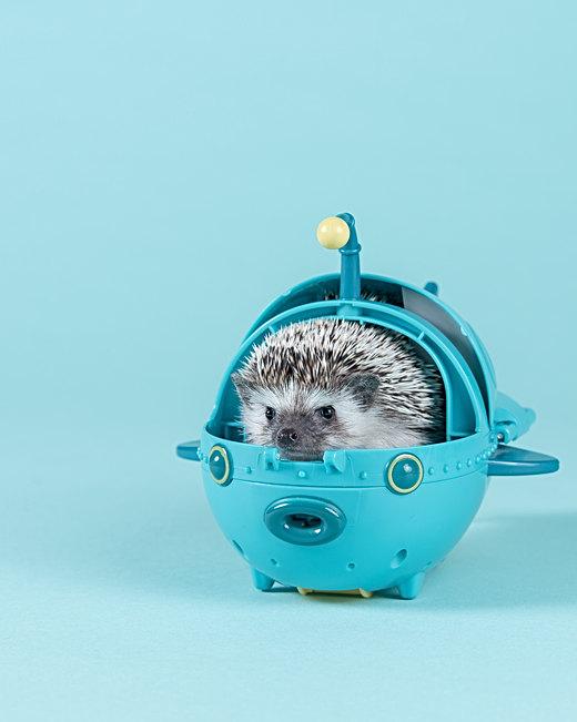 Pet portraits and hedgehog photography