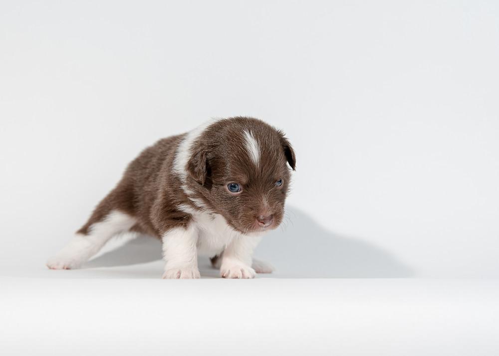 Puppy photos at Maine pet photography studio