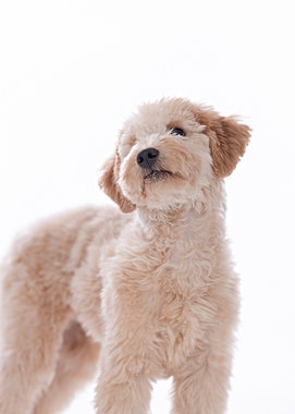 Goldendoodle pet photographer in Maine and Boston