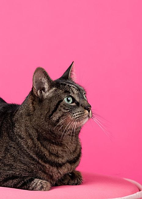 Cat portrait studio in Portland, Maine