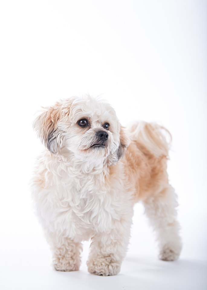 Maine dog photographer - lhasapoo puppy