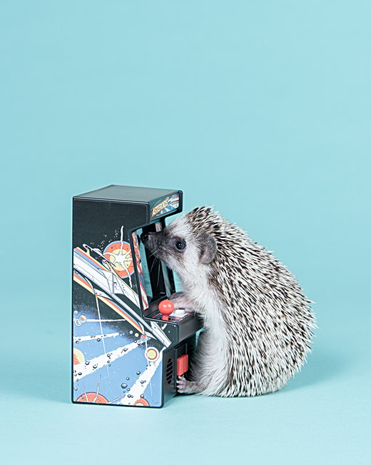 Hedgehog photo - pet photography in Maine